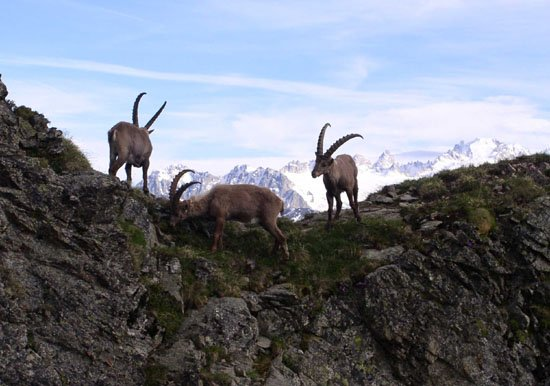 A la découverte de la faune alpine