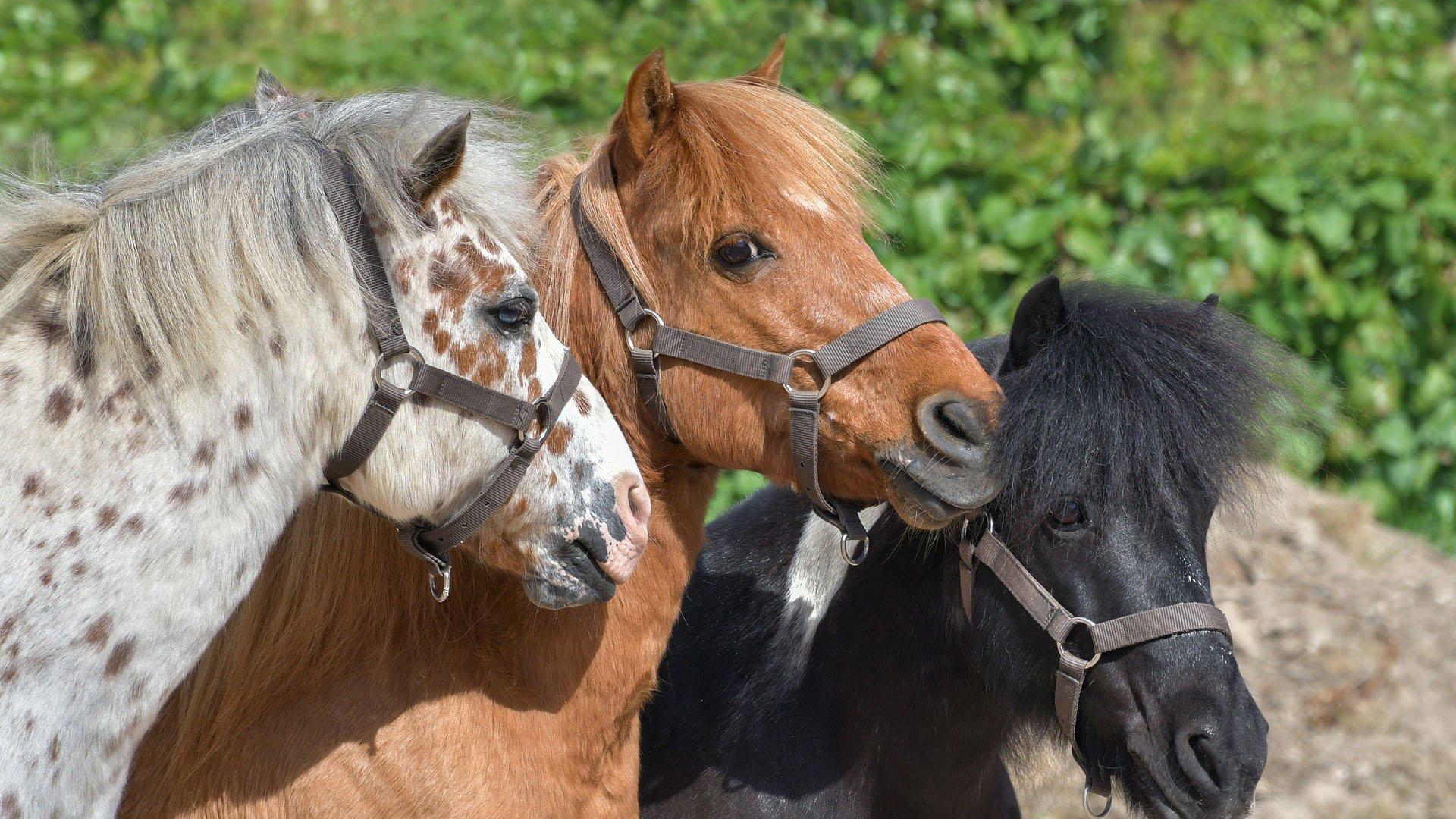 Ponyreiten (Vallorcine)